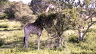 South African Giraffe Scratching Neck on a Tree video