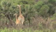 South african giraffe video