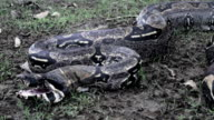 South American Boa Constrictor or red tailed boa video
