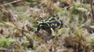 Southern Corroboree Frog. video