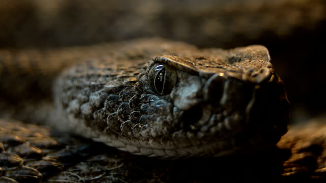 Southwestern Speckled Rattlesnake Crotalus  pupil dillating video