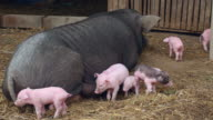 Sow lying down in a farmyard and piglets staying around trying to grasp teats video