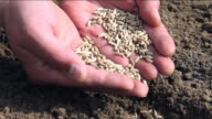 Sowing wheat video