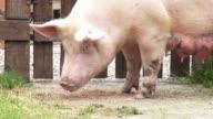 Sows, Swine, Female Pigs, Mothers video