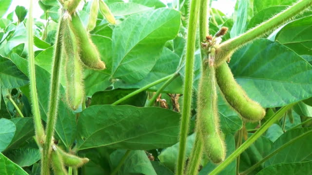 Soy Bean Cultivated Agricultural Field video