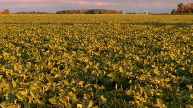 Soybean Field Zoom HD/SD video