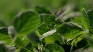 Soybean Leaves video