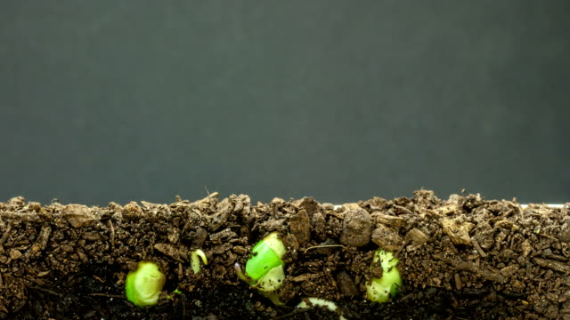 Soybeans growing agains a black background video