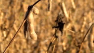 Soybeans Ready for Harvest, Soy Bean video