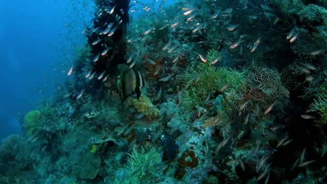 Spadefish swimming on the beautiful coral reef video