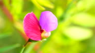 Spanish vetchling - Lathyrus clymenum 4K video