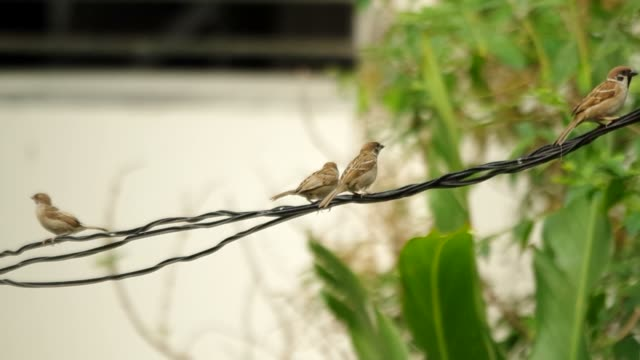 sparrow are resting on electric line video