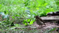 Sparrow in a Green Forest video