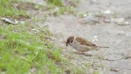 sparrow jumps and pecks leaf slow motion video video