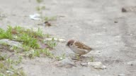 sparrow pecking seeds of trees slow motion video video