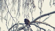Sparrow sits on a snow-covered branch video