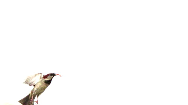 Sparrow Takes Off Slow Motion video