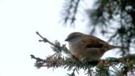 sparrow video