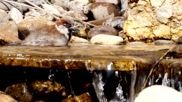 Sparrow wash oneself in the water. video