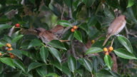 Sparrows on branch of tree video
