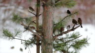 Sparrows, restlessly perching on branches of pine tree on snowy background. video