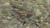 Spawning cutthroat trout fish Yellowstone National Park underwater video