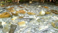 Spawning Fish Wild Salmon Swim Stream River Mating Swimming video