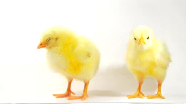 Speaking chicken video