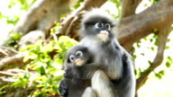 Spectacled langurs with baby on the tree. video
