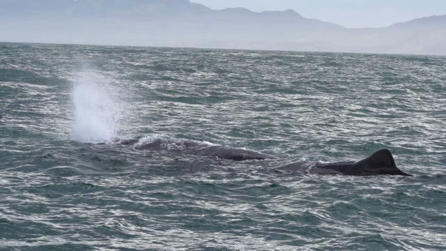 SLOW MOTION: Sperm Whale blowing video