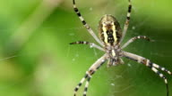 Spider caught the fly and eats her alive. Argiope bruennichi. video