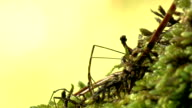 Spider. Daddy-long-legs. video