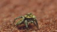 Spider defecating video