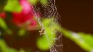 Spider feeding on its wet cobweb video