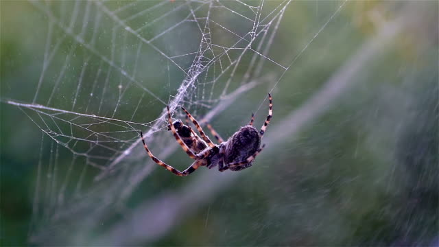 Spider hunting his victim against green background, slow motion video