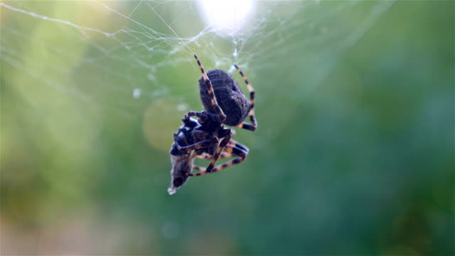 Spider hunting his victim against green background video