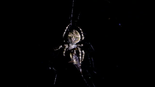 Spider illuminated against blackness, hunting his victim video