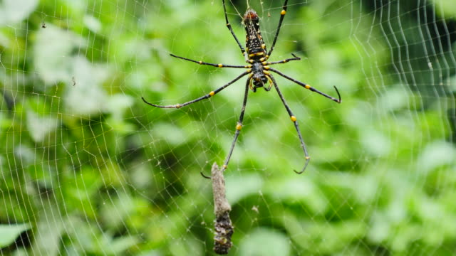 Spider is hunted and killed on web in forest. video