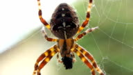 HD MACRO: Spider On A Cobweb video