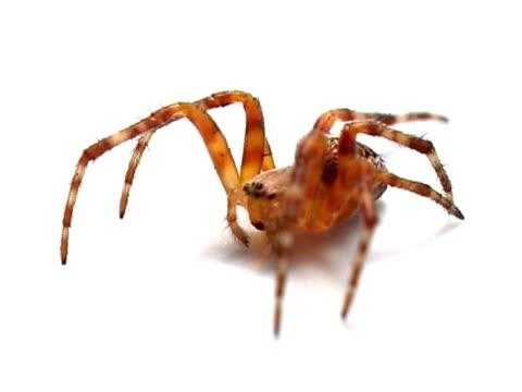 Spider PAL video