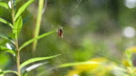 Spider sits on its spider web and waits for prey. video
