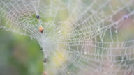 spider web with dew drops video