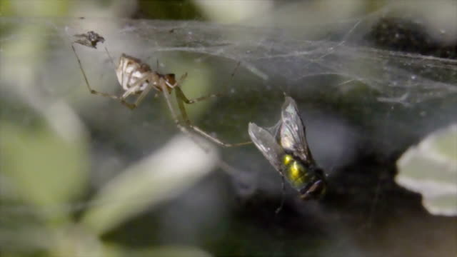 Spider with prey fly video