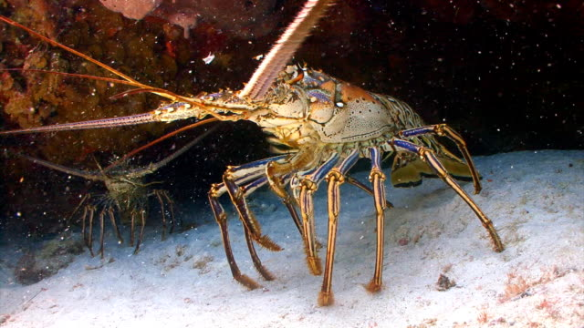 Spiny lobster under coral ledge video