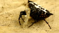 Spinybacked Orb Weaver Spider (Gasteracantha cancriformis) video