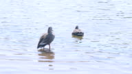 Spot-billed Ducks on the pond,in Showa Memorial Park,Tokyo,Japan video