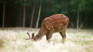 Spotted deer grazing video