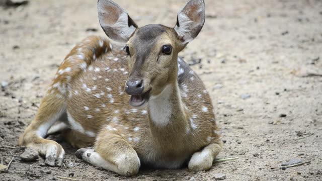 Spotted deer video