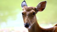Spotted deers or chitals (Axis axis) in natural habitat stand near water river in forest, wild animal video