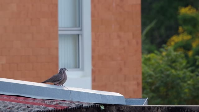spotted dove is cleaning the another one video